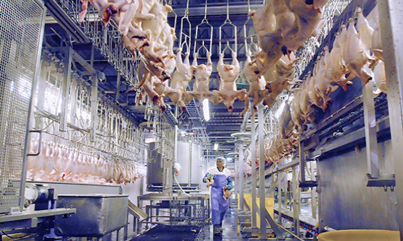 Poultry Processing Rezahygiene Your Partner In Hygiene
